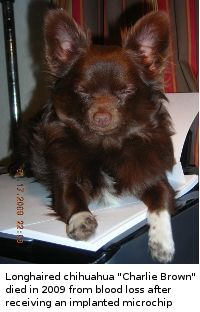 charlie_brown_longhaired_chihu