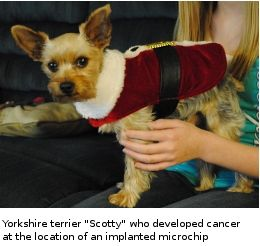 scotty_yorkshire_terrier_with_